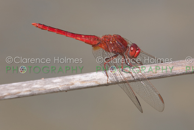 Scarlet Skimmer (Crocothemis servilia) Dragonfly - Male, Lakes Regional Park, Fort Myers, Lee County, Florida