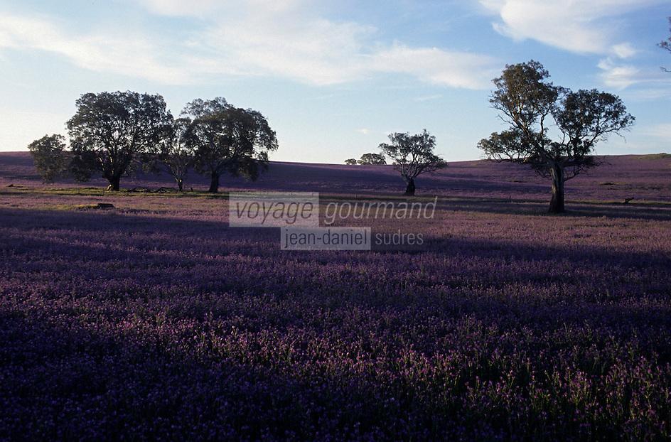 Océanie/Australie/Australie Méridionale/Barossa Valley : Pâturages et eucalyptus