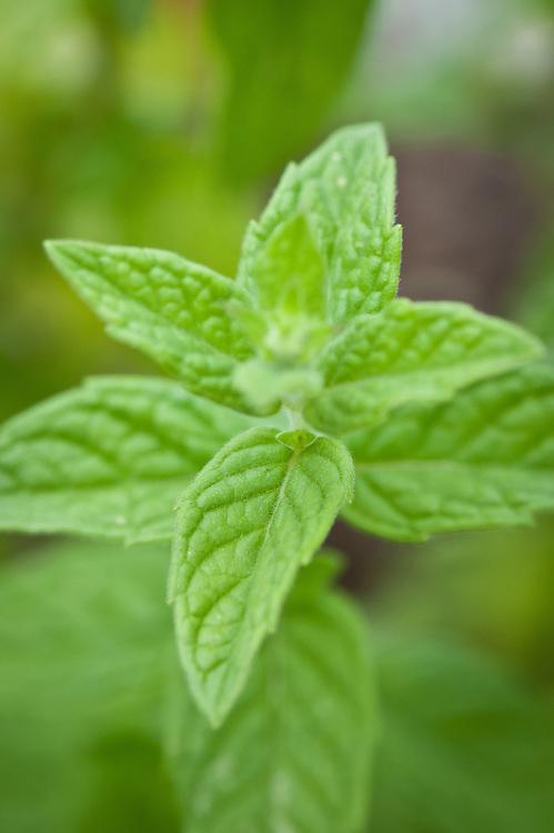 Horsemint or silver-leaved mint (Mentha longifolia syn. M. incana, M. sylvestris).