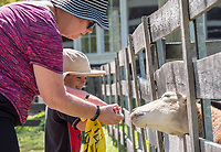 A trip to the Canatara Park animal farm is top of the to-do list for three-year-old Myles Belan. Grandmother Deb Hart leads the way feeding apple pieces to goats during a recent visit to the farm.