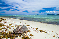hawksbill sea turtle, Eretmochelys imbricata, returning to the sea, Curieuse Island, Seychelles, Indian Ocean