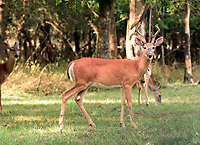 NWA Democrat-Gazette/FLIP PUTTHOFF <br /> Arkansas has ample public land for deer hunting.