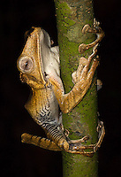 A file-eared tree frog photographed during a night walk in Borneo.