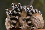 Ring-tailed lemurs, Berenty Reserve, Madagascar