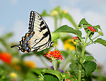 The Pastoral Beauty Of Summer On A Small Scale, The Eastern Tiger Swallowtail Butterfly On A Red Flower, Papilio glaucus Linnaeus