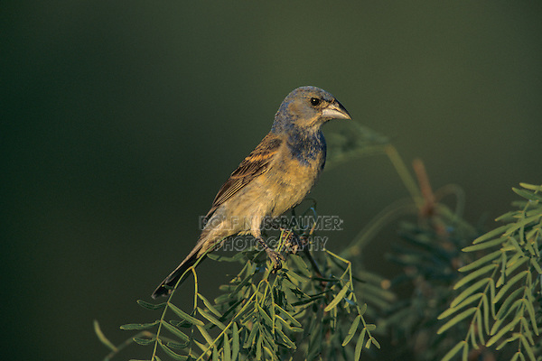 Blue Grosbeak, Guiraca caerulea, immature male on mesquite, Starr County, Rio Grande Valley, Texas, USA, May 2002