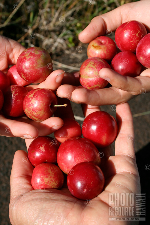 A close-up of three hands holding red plums from Koke'e, Kaua'i.