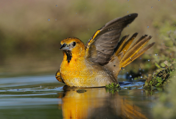 Bullock's Oriole (Icterus bullockii), young male bathing, Laredo, Webb County, South Texas, USA