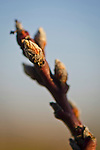 Early buds on tree, Thomas Hill Farms, Paso Robles, San Luis Obispo County, California