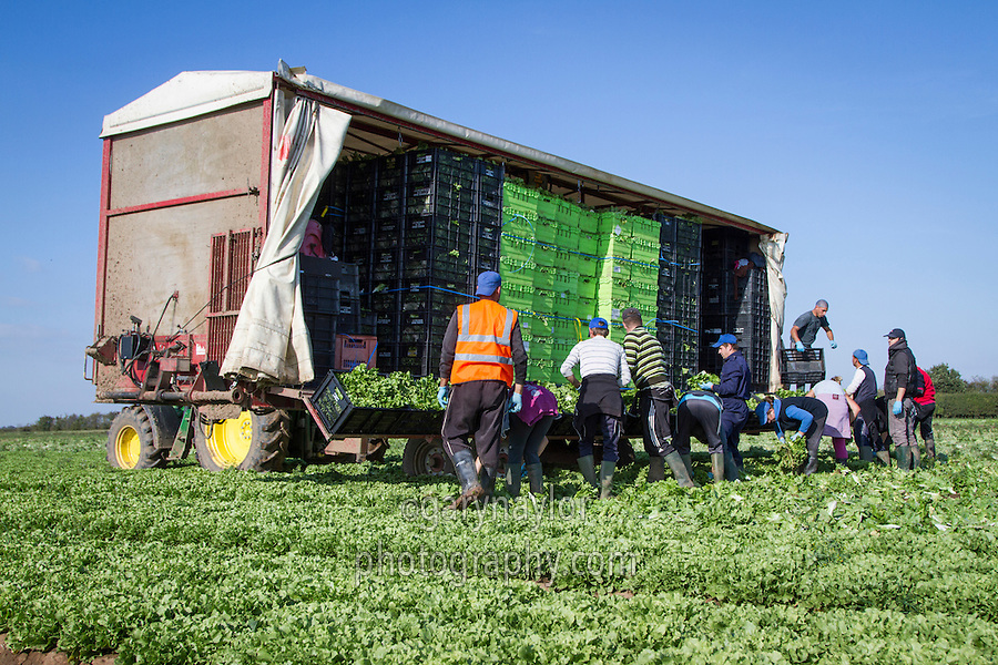 Migrant workers harvesting lettuce - Lincolnshire