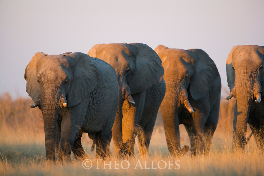 Group of elephants walking in grassland on way to water hole at sunset.