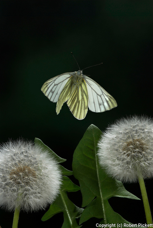 Green Veined White Butterfly, Artogeia napi, in flight over dandelion seed heads, high speed photographic technique, flying, backlight, wings open, mid flight, .United Kingdom....