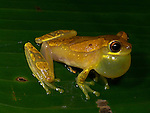 Hourglass Tree Frog, Dendropsophus ebraccatus, inflated pouch, croaking, sitting on leaf, Guayacan, Provincia de Limon, Costa Rica, Amphibian Research Center, tropical jungle, South America, calling, mottled colour.Central America....