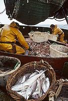 """Europe/France/Bretagne/29/Finistère/Le Guilvinec: Pêche en mer sur le chalutier """"Samouraï"""" -tri des poissons"""
