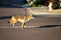 AJ ALEXANDER/AJPix - Coyote walking and running around North East Phoenix suburbs just south of Bell Rd and 54th St. thru 52nd St. down to Kolter St. about 8:30am on Friday Janurary 16, 2015.<br />