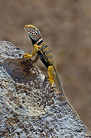 414390029c a wild male great basin or desert collared lizard crotaphytus insularis bicinctores in breeding color pattern perches on a large rock along chalk bluffs road near bishop in inyo county california