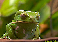0519-07pp  Waxy Monkey Frog - Phyllomedusa sauvagii - © David Kuhn/Dwight Kuhn Photography