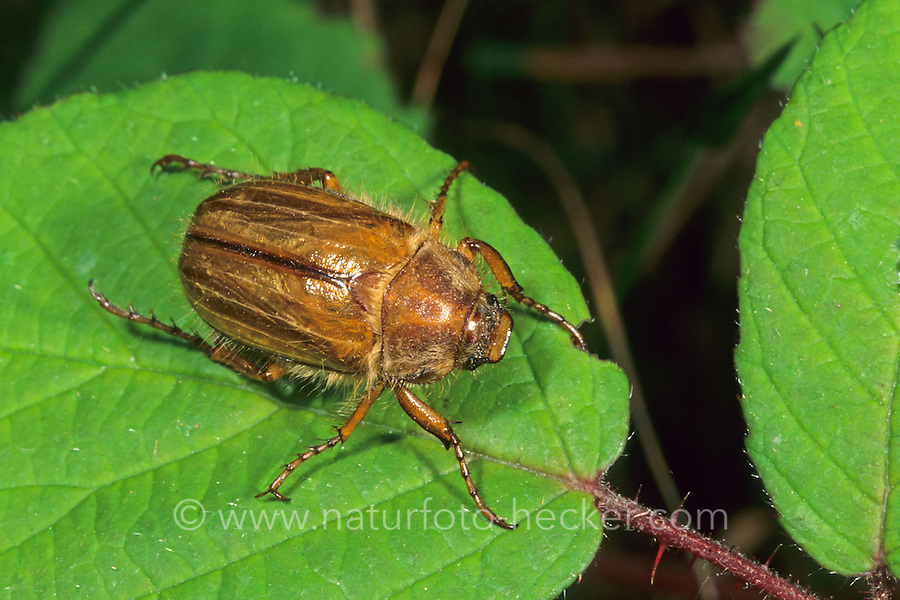 Junikäfer, Gerippter Brachkäfer, Sonnenwendkäfer, Amphimallon solstitiale, summer chafer, European june beetle