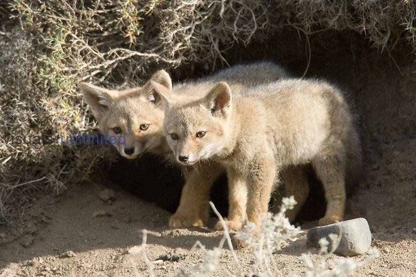Patagonian Gray Fox pups ,Pseudalopex griseus or Dusicyon griseus,.