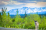 Gray Wolf standing at George Parks Hwy. The snowy Alaska Range is in the background. Interior Alaska, Summer.