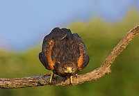 541950081 a wild adult harris hawk parabuteo unicinctus prepares to fly from its perch on a dead tree limb on a ranch in the rio grande valley of south texas