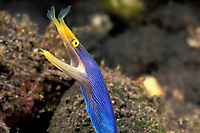 ribbon eel, Rhinomuraena quaesita, male - blue color phase, Tulamben Bay, Bali, Indonesia