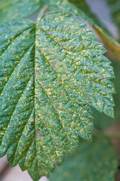Yellow pustules of raspberry rust (Phragmidium rubi-idaei) on the upper surface of raspberry leaves, mid October.