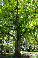 Sommer-Linde, Sommerlinde, Linde, Tilia platyphyllos, Tilia grandifolia, large-leaved lime, Large Leaved Lime, largeleaf linden, large-leaved linden, lime, linden, Le tilleul à grandes feuilles