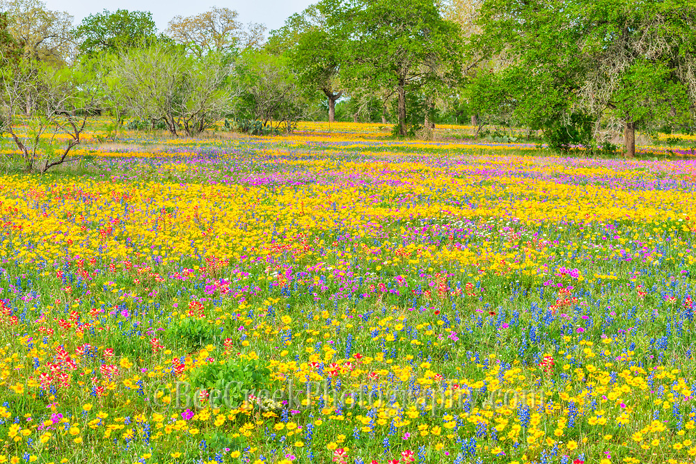 Loved these colorful Texas wildflowers landscape.  This medley of colorful bluebonnets, coreopsis, phlox, and indian paintbrush wildflowers made for a wonderful colorful mix of spring flowers landscape.
