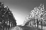 Vineyard in carneros district of Napa Valley