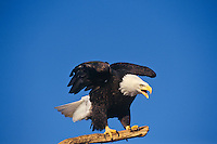 Bald Eagle (Haliaeetus leucocephalus) calling from perch.