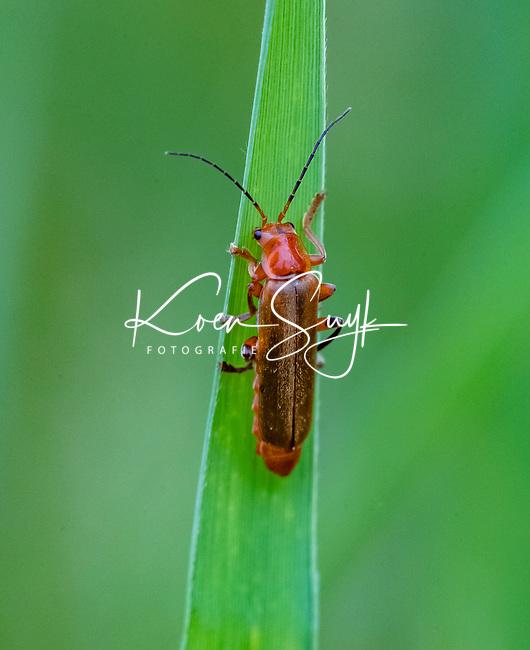 HALFWEG - Geel Soldaatje.  insecten op de golfbaan , Amsterdamse Golf Club. (AGC)  . Insecteninventarisatie  COPYRIGHT KOEN SUYK