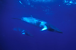 """Minke Whale, subspecies of Balaenoptera acutorostrata, The dwarf minke whale (B. acutorostrata subspecies) has no population estimate, and its conservation status is categorised as """"data deficient. Great Barrier Reef"""
