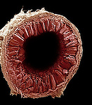 The small intestine seen here in cross section shows the numerous villi that greatly increase the surface area for the digestion and absorption of nutrients. SEM X30  **On Page Credit Required**
