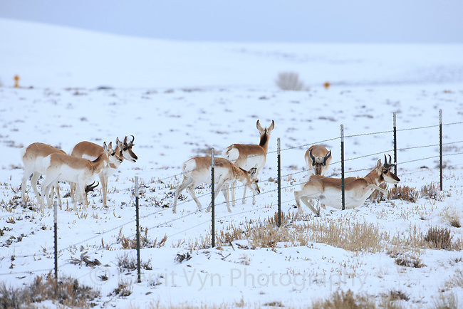 Migrating Pronghorn (Antilocapra americana) crawling under a fence line. Sublette County, Wyoming. March.