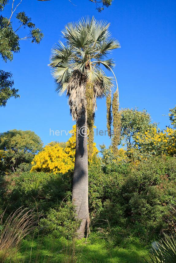 Le domaine du Rayol en f&eacute;vrier :<br />  Washingtonia filifera<br /> <br /> (mention obligatoire du nom du jardin &amp; pas d'usage publicitaire sans autorisation pr&eacute;alable)