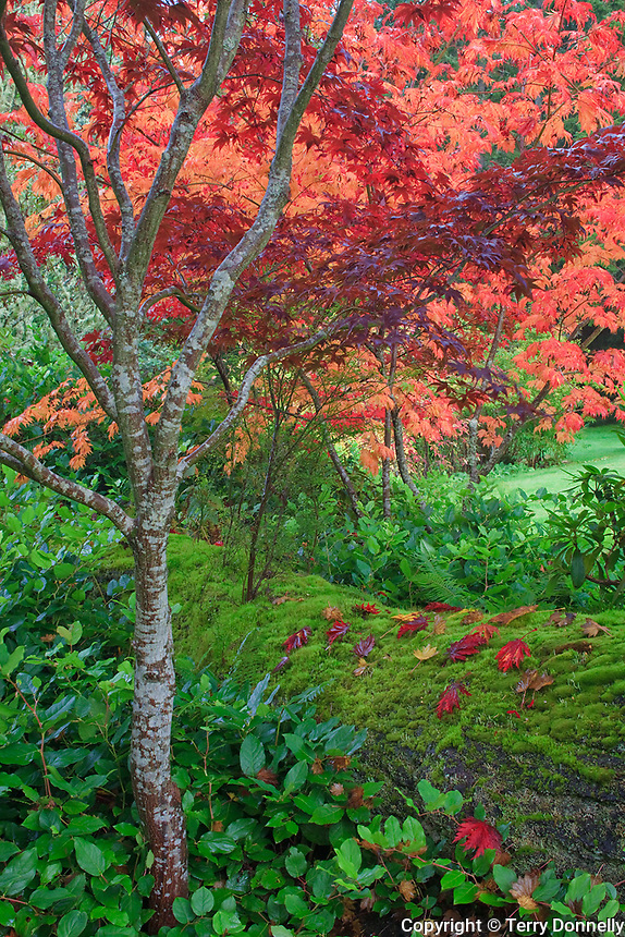 Vashon Island, WA<br /> Fall colored maples (Acer palmatum) arching over a mossy log in a garden setting