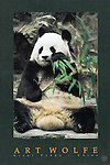 Poster by Bruce McGaw Graphics<br /> Giant Panda, China<br /> Paper: 24 x 36 in. (61 x 91 cm.) <br /> Image: 19.5 x 32.25 in. (50 x 82 cm.) <br /> Perfect for mounting or framing. Watermark does not appear on product.