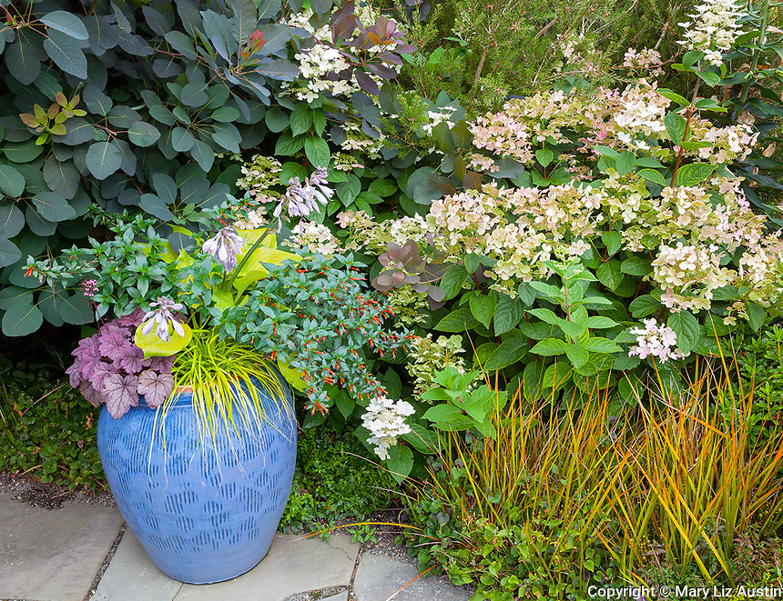 Vashon-Maury Island, WA:  Blue ceramic pot with Japanese forest grass, hosta, penstemon, and heuchera with smoke bush and Hydrangea paniculata 'Quick Fire' in the summer perennial bed