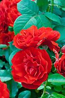 Floribunda Rose, Bush rose Rosa 'Trumpeter', red roses