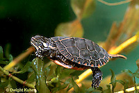 1R13-058z  Painted Turtle - young turtle swimming under water - Chrysemys picta