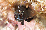 Emblemaria pandionis, Sailfin blenny, Florida Keys