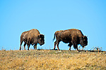 Two bison move across the skyline in Yellowstone's Lamar Valley.
