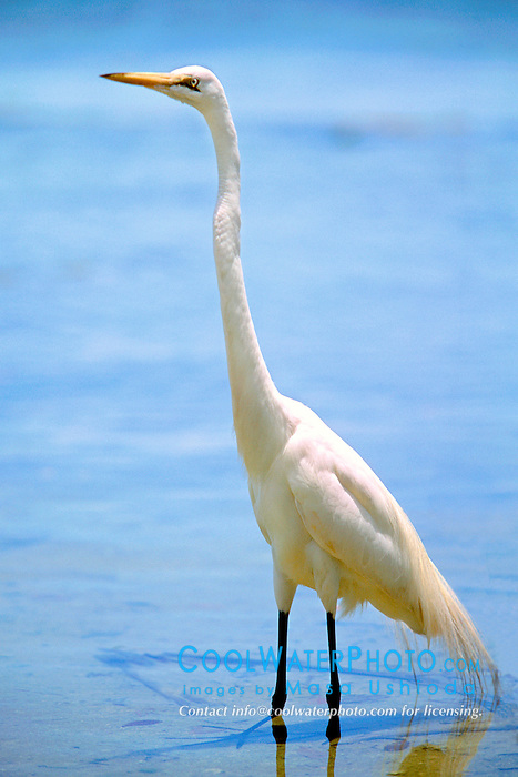 great egret, .Herodias egretta, .Islamorada, Florida (Gulf of Mexico).