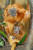 Germany, DEU, Muenster, 2004-Sep-15: A young golden lion tamarin (leontopithecus rosalia), 18 days old, sitting on a branch together with its mother.