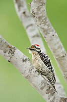Ladder-backed Woodpecker (Picoides scalaris), male with moth prey, Laredo, Webb County, South Texas, USA