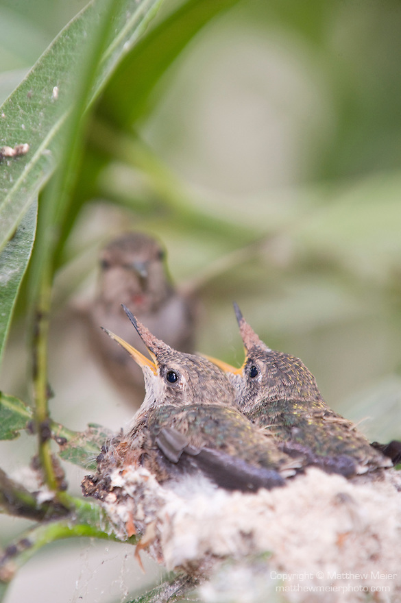 La Jolla, California; a female Anna's Hummingbird (Calypte anna) lands on the edge of her nest, wings flapping, ready to feed her two, two week old chicks