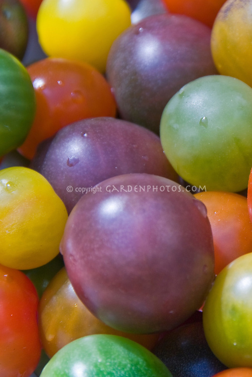 Heirloom cherry tomato variety in bowl showing mixture of colors from purple (Black Cherry), green, red,  brown, orange, yellow, gold