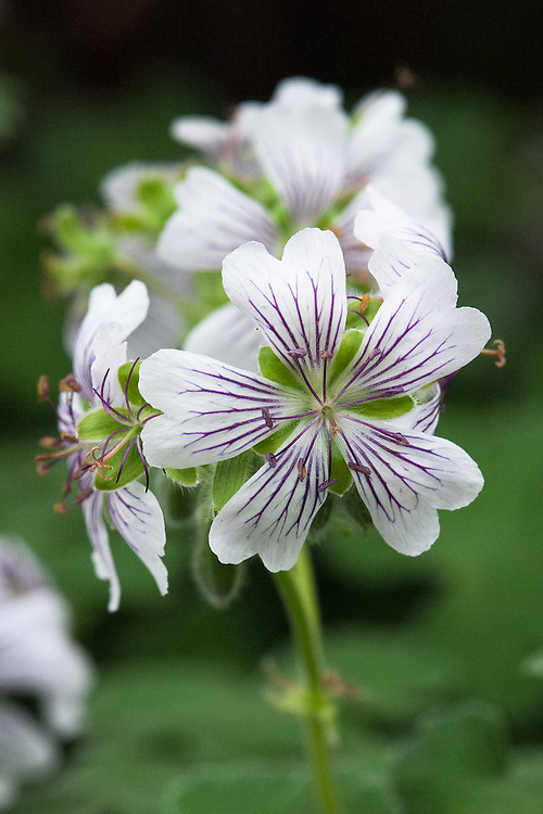 Geranium renardii (Renard geranium), mid May. A clump-forming herbaceous perennial with grey-green, lobed, finely wrinkled basal leaves and white or pale mauve flowers with prominent violet veins.