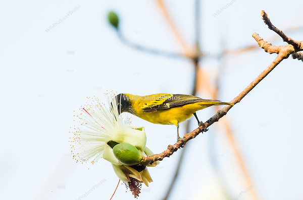 An immature Black-headed Oriole (Oriolus xanthornus) feeding on nectar from flowers. (Prey Veng, Cambodia)